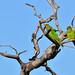 Periquito-rei (Aratinga aurea) - Peach-fronted Parakeet