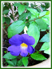 Our Thunbergia erecta (King's Mantle, Bush Clock Vine) with vibrant purple flower, May 12 2014