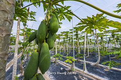 Harry_24083,木瓜,網室木瓜,木瓜園,水果,�…