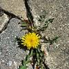 #spring #yellow #dandelion