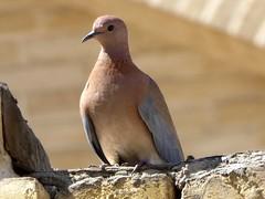 Tourterelle maillée - Laughing dove