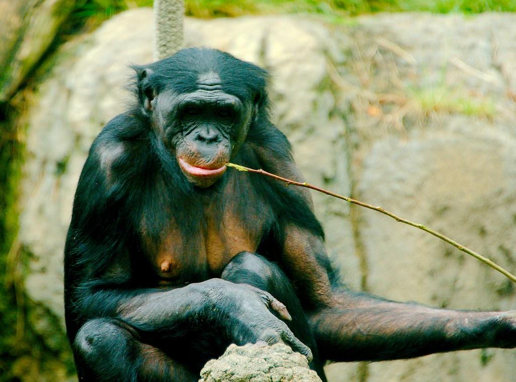 Bonobo (Pan paniscus)_17