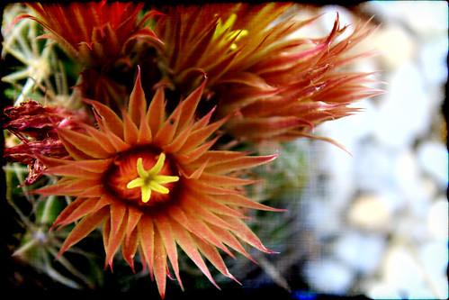 cactus flower art nature beauty photography dangerous texas eden dangerousbeauty groovyal