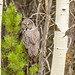 Grand Teton National Park - Granite Canyon Trail         - Great Gray Owl by gregoryl.johnson56