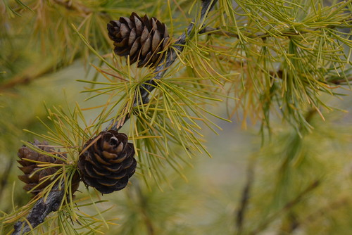 Developing Pinecones