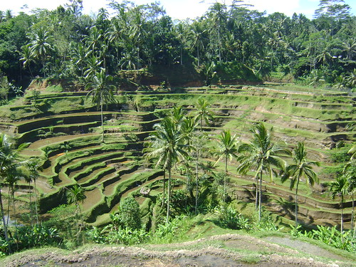 The rice paddys of Ubud