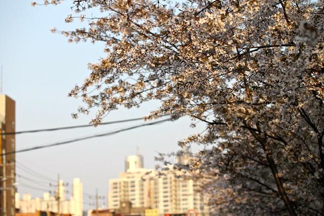 봉천로 벚꽃 20150411