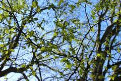 leavesronbirks