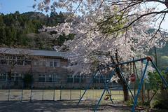 かつての学校に咲く桜