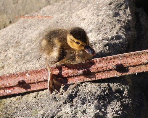 Brand new mallard duckling...