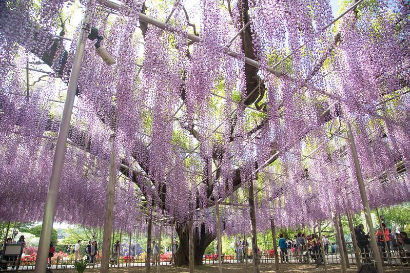 ashikaga_flowerpark-49