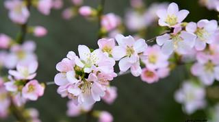 Double flowering Almond in my yard.