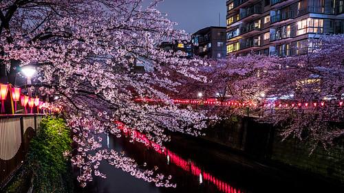 sunset japan tokyo 桜 日本 sakura 東京都 a7r flickrhongkong 桜のライトアップ flickrhkma 目黒川の桜並木
