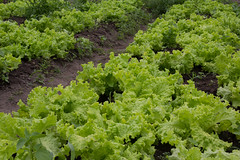brassica(0.0), vegetable(0.0), mustard plant(0.0), produce(0.0), rapini(0.0), food(0.0), annual plant(1.0), lettuce(1.0), field(1.0), brassica rapa(1.0),