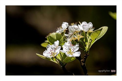 flowering_pear_tree