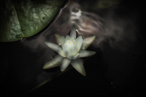 white flower nature landscape photography interesting waterlily lily unitedstates florida sony explore tallahassee hiddenpond sonyalpha emount sony3518oss sonya6000 sonyilce6000 kimmienflorida explore05172015