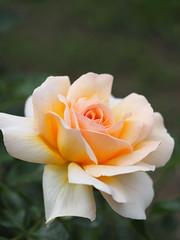 Rose, Téléthon, バラ, テレトン,