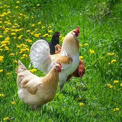Hens and rooster #chickens #rooster