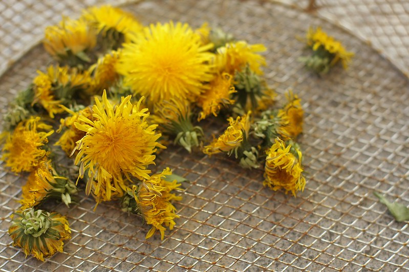 dandelion mini harvest