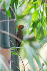 ... bamboo woodpecker, 竹啄木鸟 (male) ...