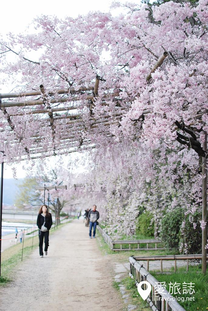 京都赏樱景点 半木之道 26