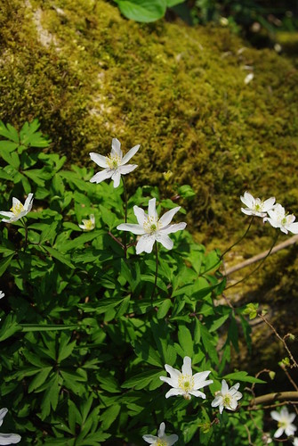 IMGP5253_wood anemone
