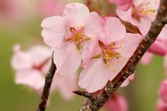 Cherry Blossom Flower Macro 10