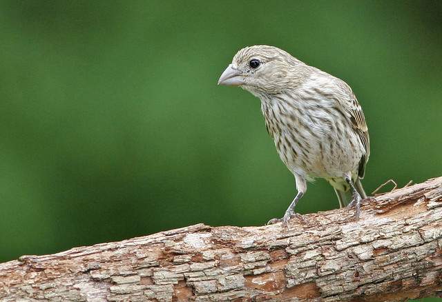 House Finch _6547