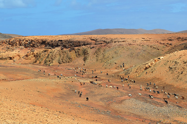 Goats on the hill, Fuerteventura