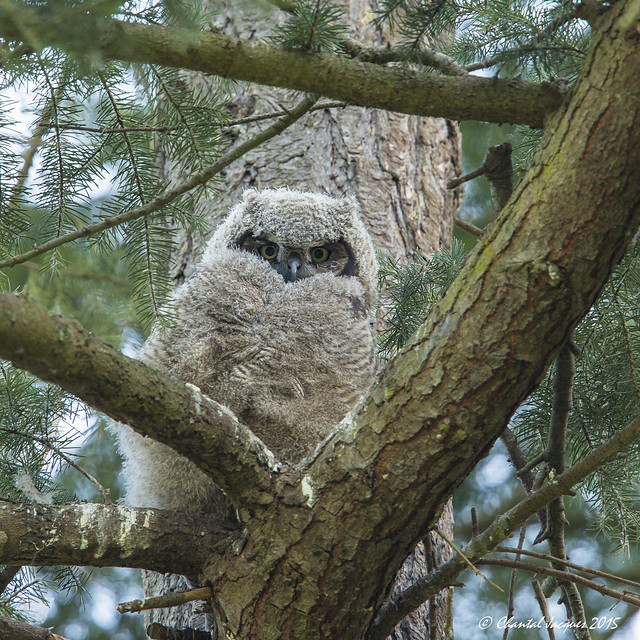 Great Horned Owlet, Victoria, BC