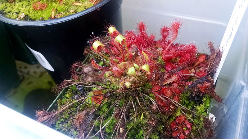 Drosera anglica with aphid damage.