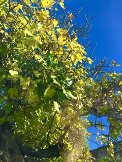 Green and gold of this fig tree   Against the blue sky looks quite nice.
