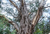 Old scraggly gum tree