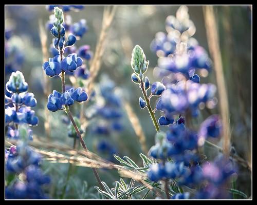 california flower sunrise landscape lumix us unitedstates panasonic m43 granitebay gh4 folsomdam mirrorless microfourthirds m43ftw dreyerpicturescom