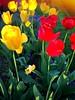 Beautiful Tulips in the back yard