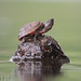 Loggerhead Musk Turtle (Sternotherus minor minor) by Pierson Hill