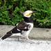 Black-collared starling