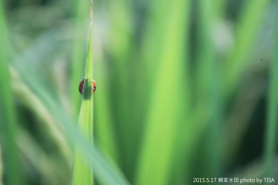 是誰躲在稻葉後面?