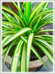 Variegated leaves of Pandanus veitchii 'Variegata' (Variegated Dwarf Pandanus, Variegated Screw Pine, Variegated Veitch's Screw Pine), May 3 2016