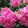 #Rosa Color rosa. Che tipo di varietà? Non lo so. #Rose #CMGiardinaggio #Menaggio #Fiori #Piante #IgersRose #InstaRose #IgersLombardia #InstaLombardia #IgersItalia #InstaItalia #IgLombardia #IgItalia #IgersEuropa  #InstaEuropa #IgEuropa