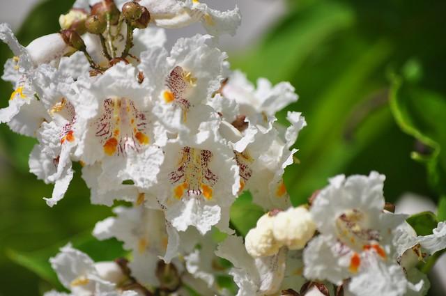 Tomar - white flowers