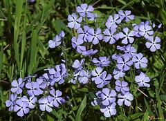 Wild Blue Phlox (Phlox divericata) (DSPF0393)