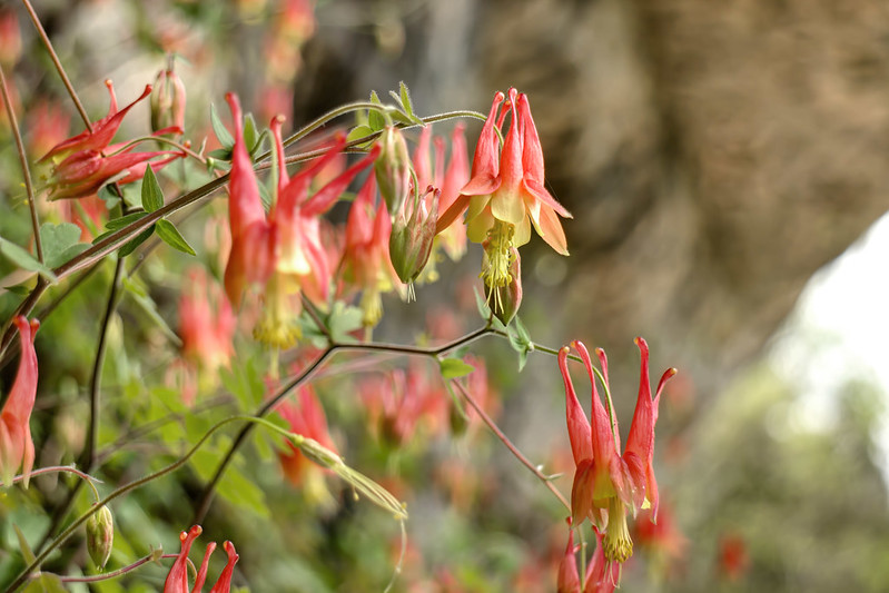 Aquilegia canadensis, Rock Island State Park, White County, Tennessee