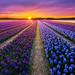 Purple by albert dros