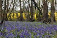 Hockering Woods April 2015
