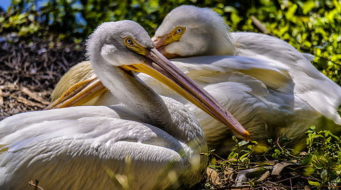 two pelicans in repose