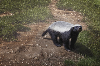 honey badger looking up