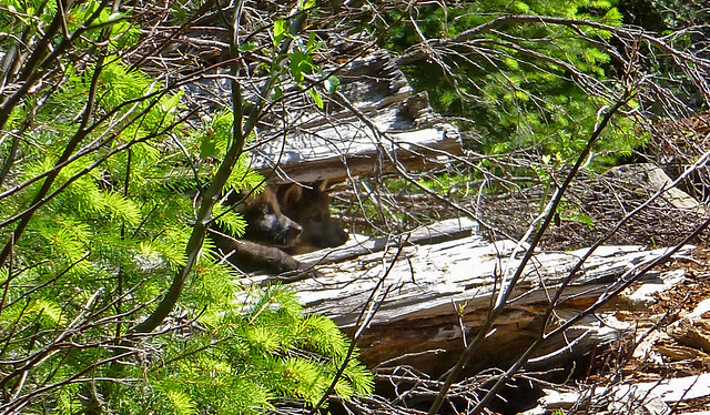pups-in-log_stephenson_usfws