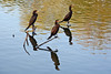 Neotropic Cormorants Reflected
