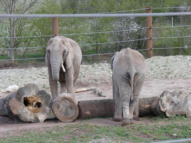 17-die Elefantendamen